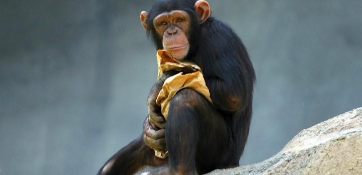 「チンパンジー」と「オランウータン」の違いは?