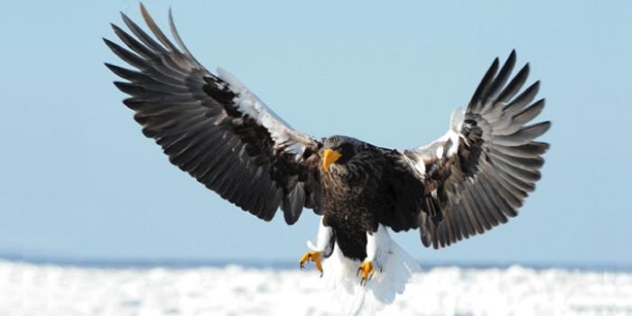 「鷹(タカ)」と「鷲(ワシ)」「鳶(トビ)」の違いは?