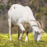 「山羊(やぎ)」と「羊(ひつじ)」の違いは?