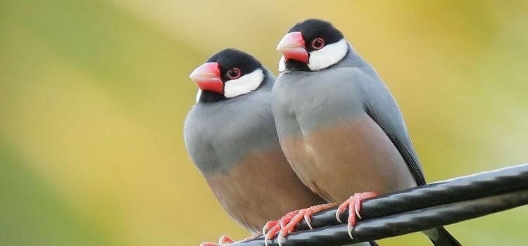 「文鳥」と「インコ」の違いは?