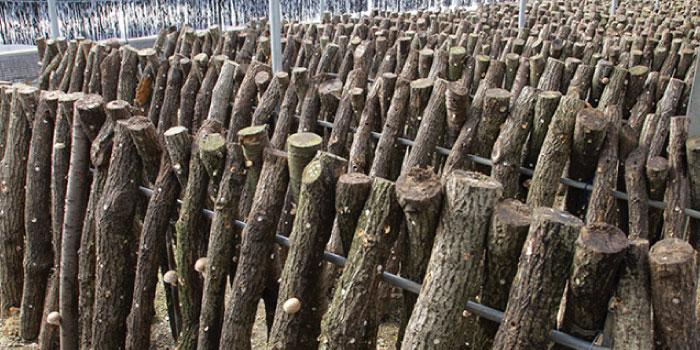 原木しいたけ」と「菌床しいたけ...