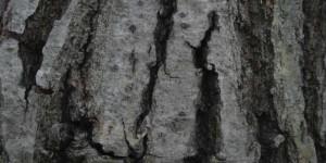 コナラ樹皮