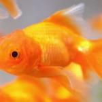 「金魚」と「鯉」の違いは?
