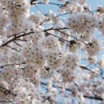 「桜」と「さくらんぼ」の違いは?