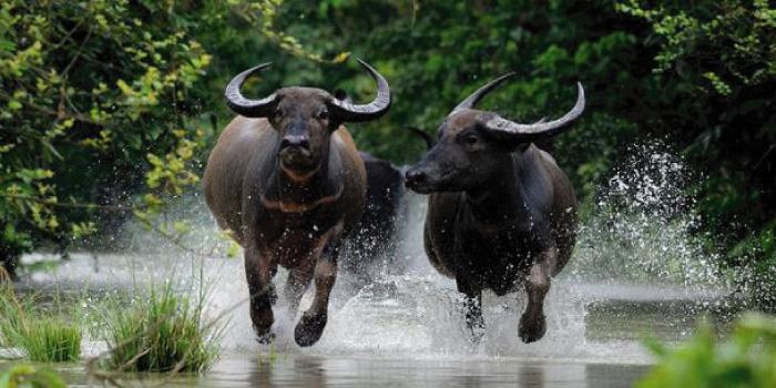 水牛」と「バイソン」「バッファ...