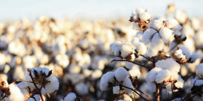 「綿」と「コットン」の違いは?