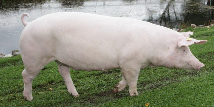 「三元豚」と「四元豚」の違いは?