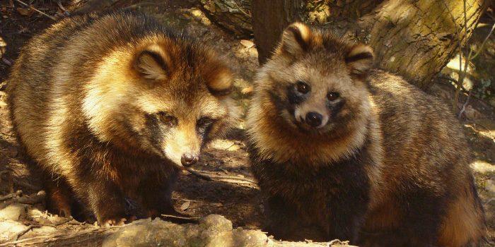 「狸」と「狐」の違いは?
