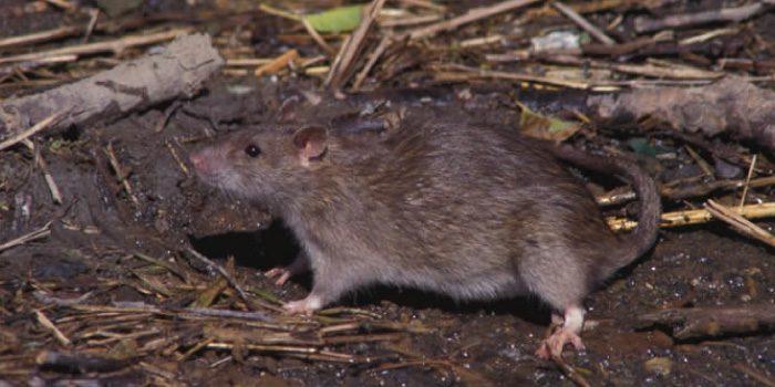 「ドブネズミ」と「クマネズミ」「ハツカネズミ」の違いは?