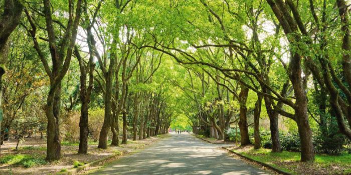 常緑樹(クスノキ)