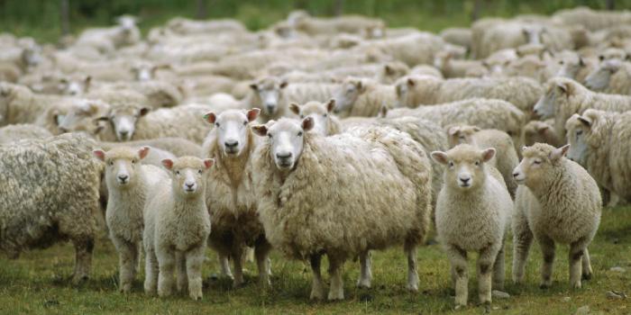 山羊(ヤギ)と羊(ヒツジ)の特徴や違い ...