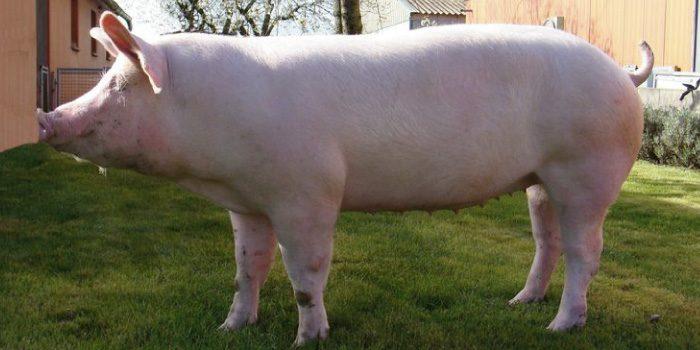 「三元豚」と「イベリコ豚」の違いは?