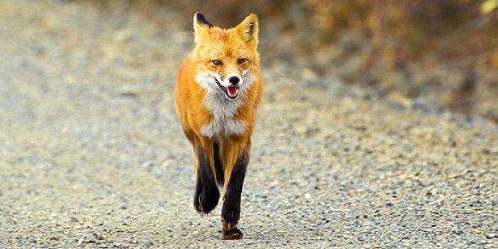 「狐」と「狼」の違いは?