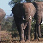 「アフリカゾウ」と「インドゾウ」の違いは?