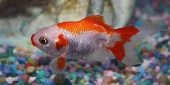 「金魚」と「ベタ」の違いは?