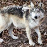 「オオカミ」と「ハイエナ」の違いは?