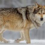 「オオカミ」と「コヨーテ」の違いは?